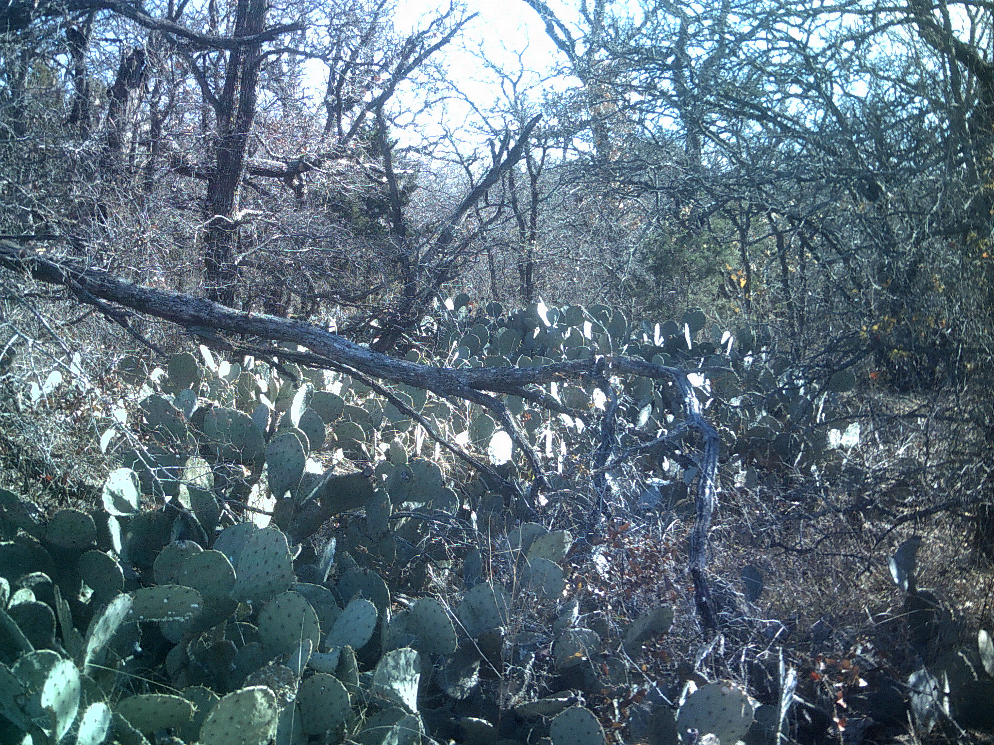 Cacti at Mineral Wells State Park